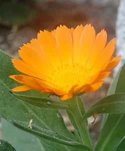 Calendula officinalis Ringelblume